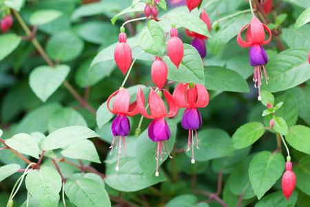 Bunch of blossoming fuchsia on a natural background.