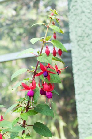 fuschias: Bunch of blossoming fuchsia on a natural background.