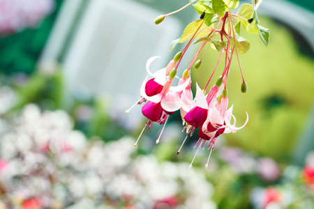 fuchsia: Bunch of blossoming fuchsia on a natural background.