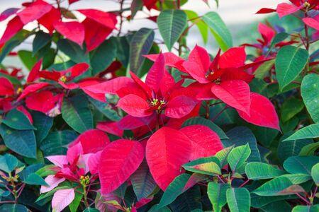 pulcherrima: Red poinsettia flowers (Euphorbia pulcherrima) Stock Photo