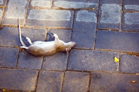dead rat: Dead rat on concrete floor.