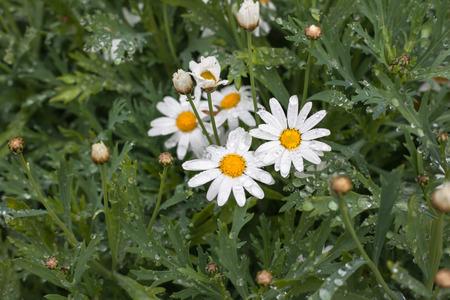 White small chrysanthemum mum flower