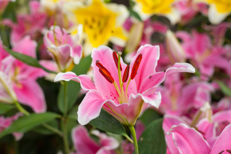 Lilly pink color Flower in garden. Stock Photo