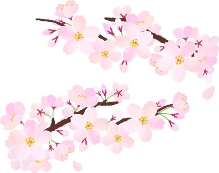The branches of cherry blossoms