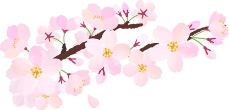 The branche of cherry blossoms