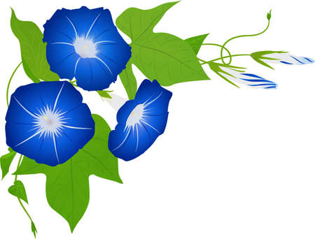 Vector illustration of blooming morning glories on top left corner