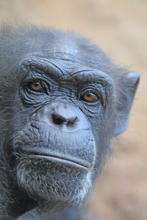 chimpanzees: Guarda scimpanz�