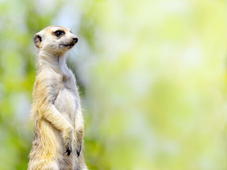 Meerkat staring into the distance Stock Photo