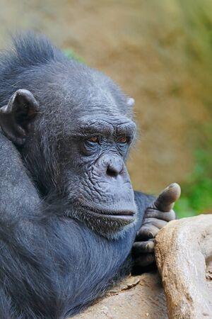 chimpances: Los chimpancés a NAP