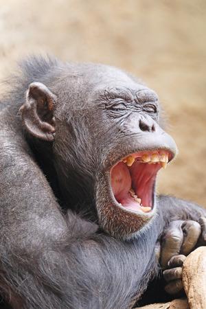 chimpances: Los chimpancés para abrir la boca