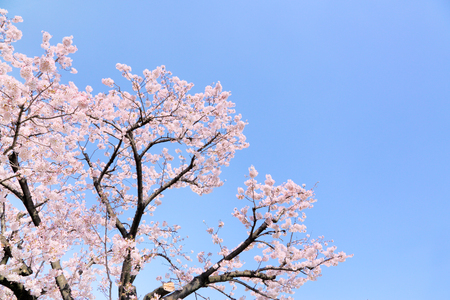 Blue sky and cherry blossom