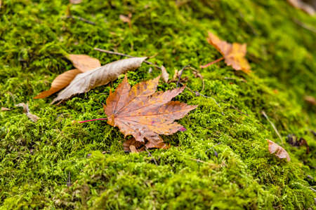 Fallen maple leaves and beautiful moss Stok Fotoğraf