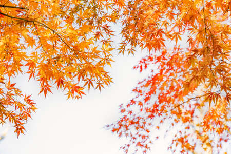 Maple leaves with vivid autumn colors