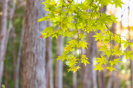 A maple that gradually began to turn red