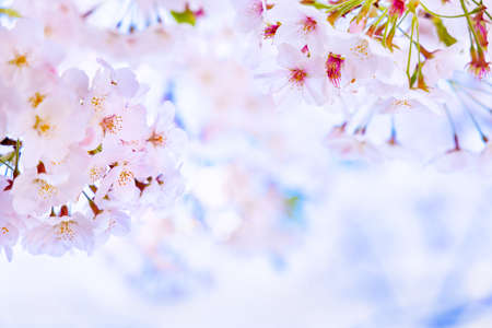 Blue sky and beautiful cherry blossoms