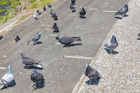 Pigeons gather on the bank along the river