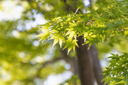 Fresh Green Maple 写真素材