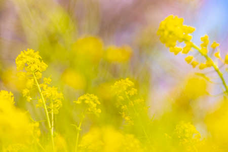Rape blossoms swaying in the wind 写真素材