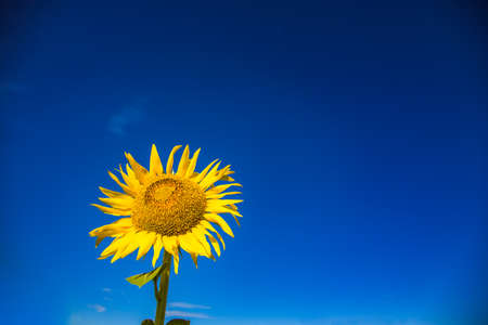 Sunflowers and blue sky background. 写真素材