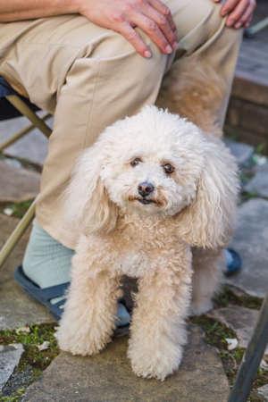 Poodle dog close up background.