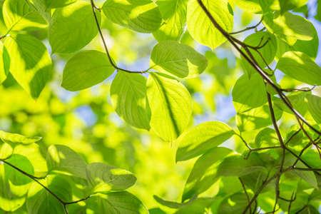Fresh green leaves background. 写真素材