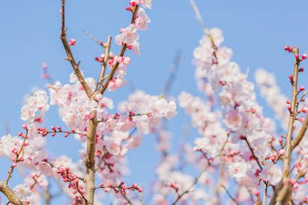 Plum blossom background.
