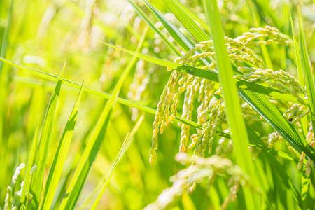 A good harvest of rice ears