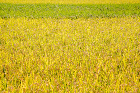 A good harvest of rice ears background.