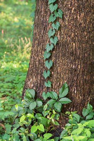 Ivy entangled in trees