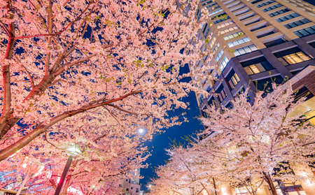 Night cherry blossoms in the city