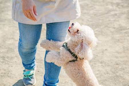 Poodle for a walk