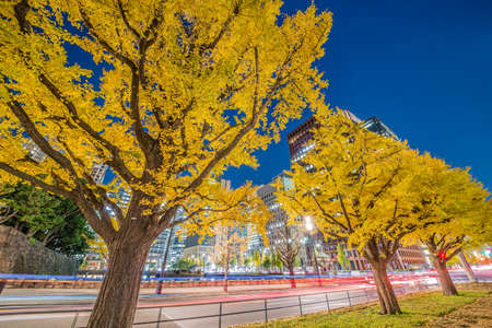 A row of ginkgo trees in the city