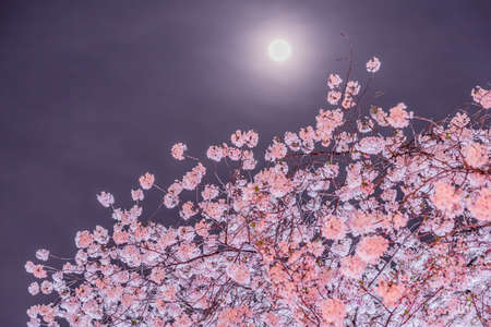 Cherry blossoms and moon