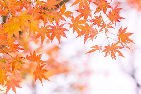 Red-colored maple