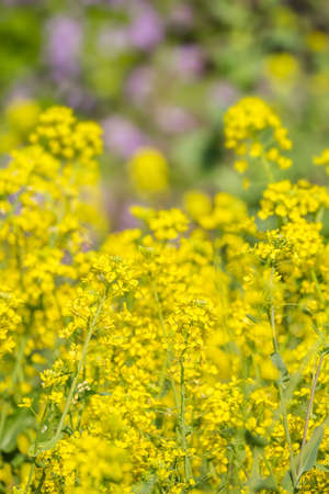 Fresh green and rape blossoms