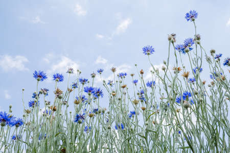 Blue flowers blooming toward the blue sky 写真素材