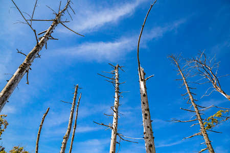 Standing dead trees and blue sky
