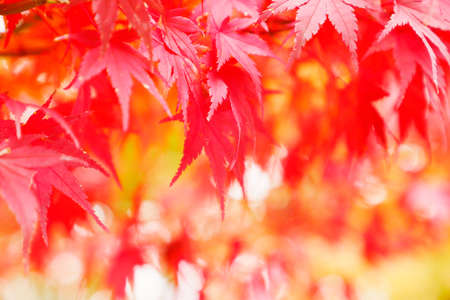 Maple with vivid autumn leaves