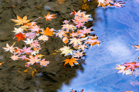 Maple with autumn leaves floating on the surface of the water Banco de Imagens