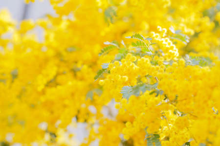 Mimosa flowers in full bloom Stock Photo