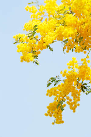 Mimosa flowers in full bloom