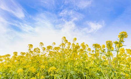 Rape blossoms and a blue sky