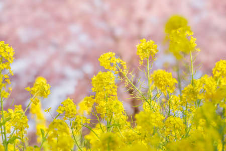 Rape blossoms and cherry trees 写真素材