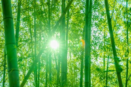 Bamboo forest full of light Standard-Bild