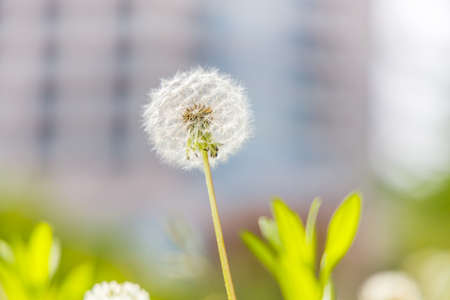 Dandelion blooming in a park in the city