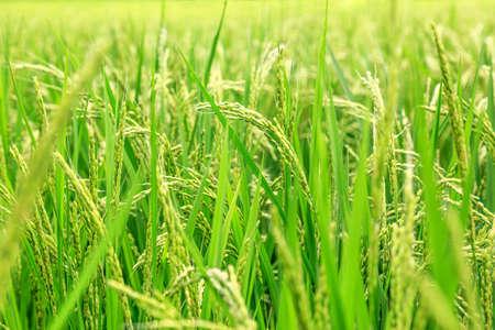 Rice ears in paddy fields