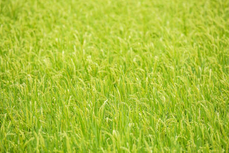 Fresh rice field rice ears