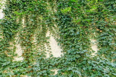 A lot of ivy entangled in the wall