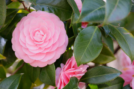 Beautiful pink camellia flower