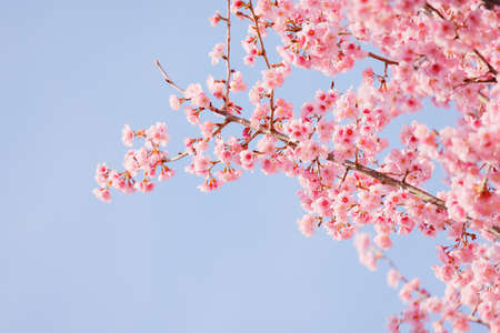 Cherry blossoms in full bloom with beautiful pink petals